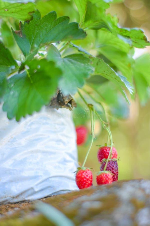 Fuit de Stawberry images libres de droits