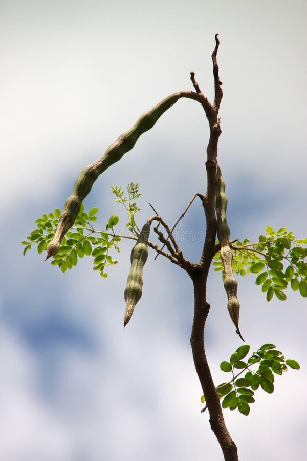 Fuite de moringa oleifera. ou arbre de raifort sauvage photos stock