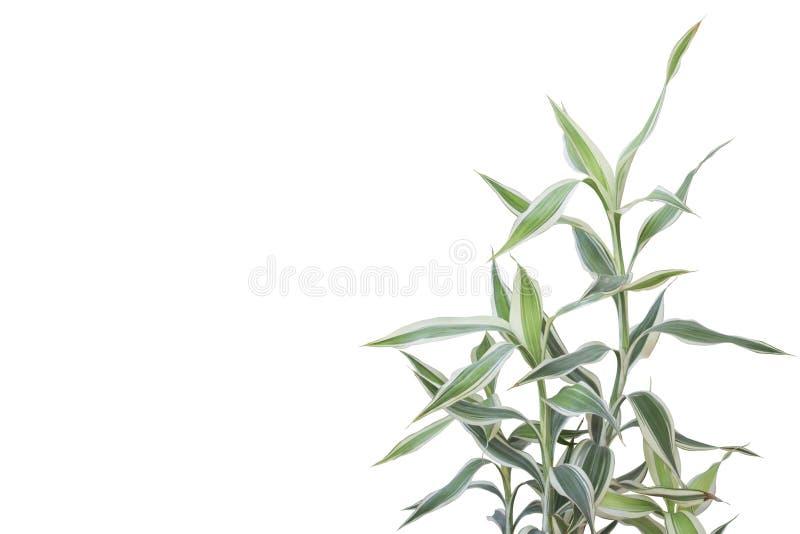 Fuite de reflexa de Dracaena ou chanson d'usine de l'Inde d'isolement sur le fond blanc images stock
