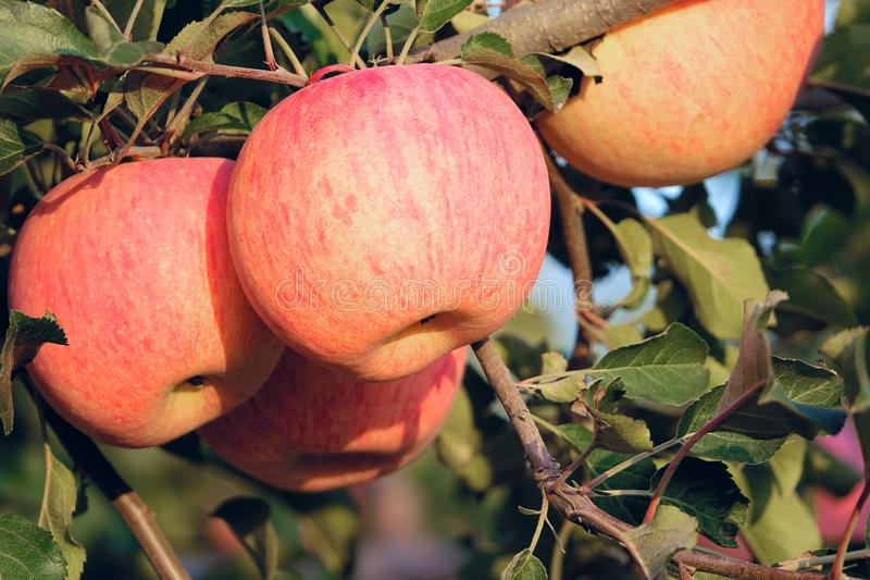 Fuji apples. The ripe red apples in branches stock image