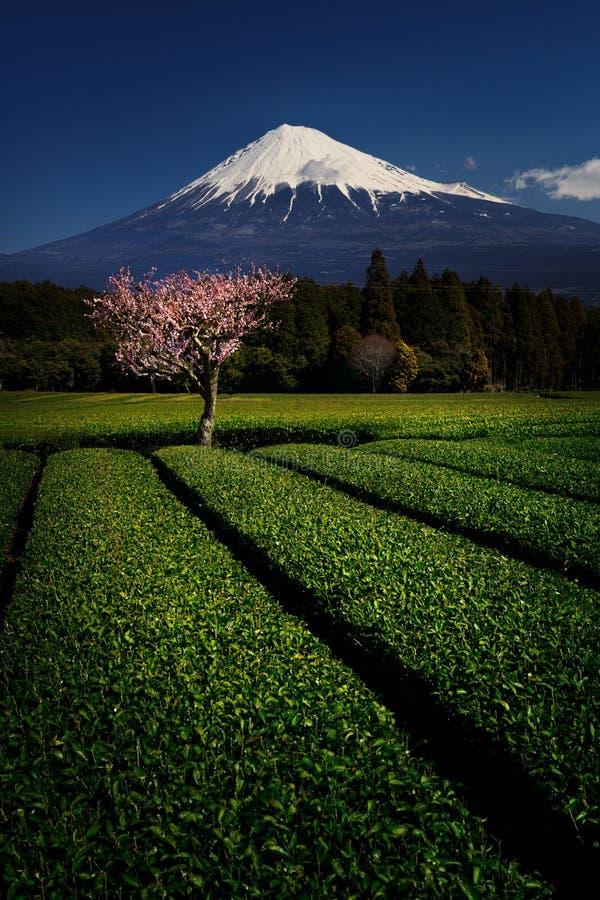Fuji med Plum Blossom och grönt te arkivfoton