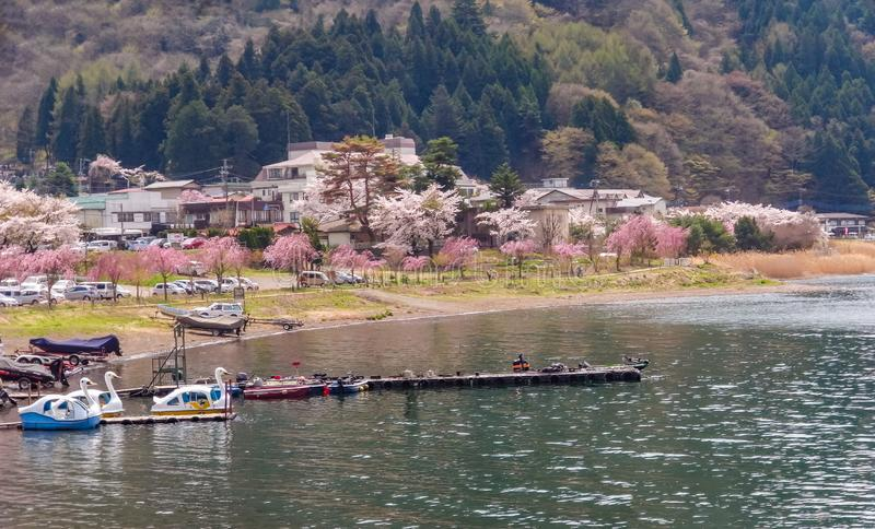 Fuji mountain and the Kawaguchi lake coast with pink sakura cherry blossoms trees in bloom at spring in japan royalty free stock photo