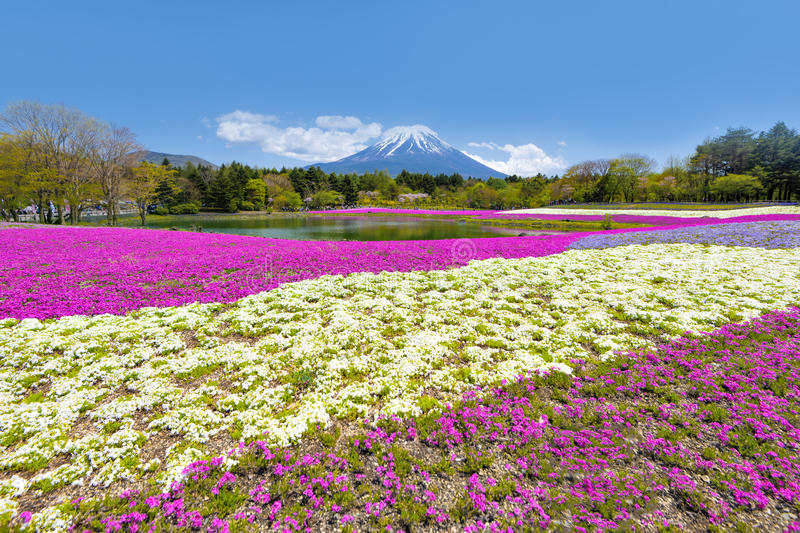 Fuji Mountain and Pink Shibazakura Garden Festival in Sunny Day at Shizuoka stock photos