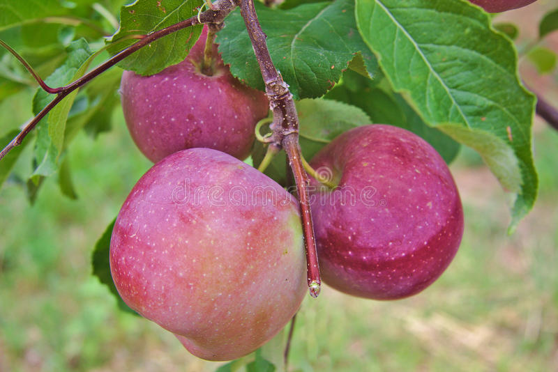 Fuji red or pink apples on a tree stock photo