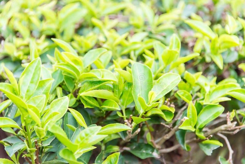 FUJIAN, ΚΊΝΑ - 23 Δεκεμβρίου 2015: Ο μεγάλος κήπος τσαγιού άποψης ένας διάσημος στοκ εικόνες