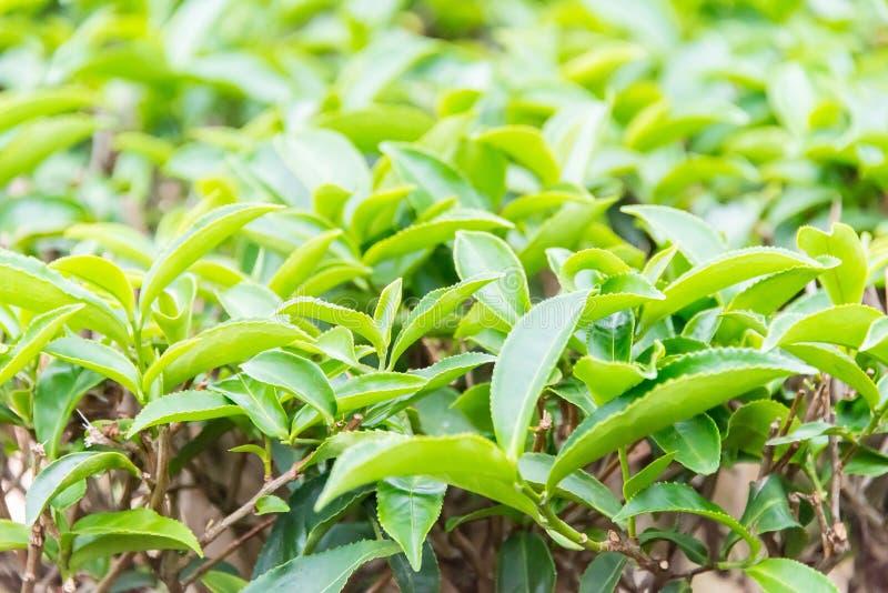 FUJIAN, CHINA - 23. Dezember 2015: Der großartige Ansicht-Tee-Garten ein berühmtes stockfotos