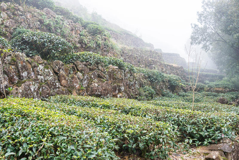 FUJIAN, CHINA - 24. Dezember 2015: Teeplantage in alter Stadt Xiping lizenzfreie stockfotos