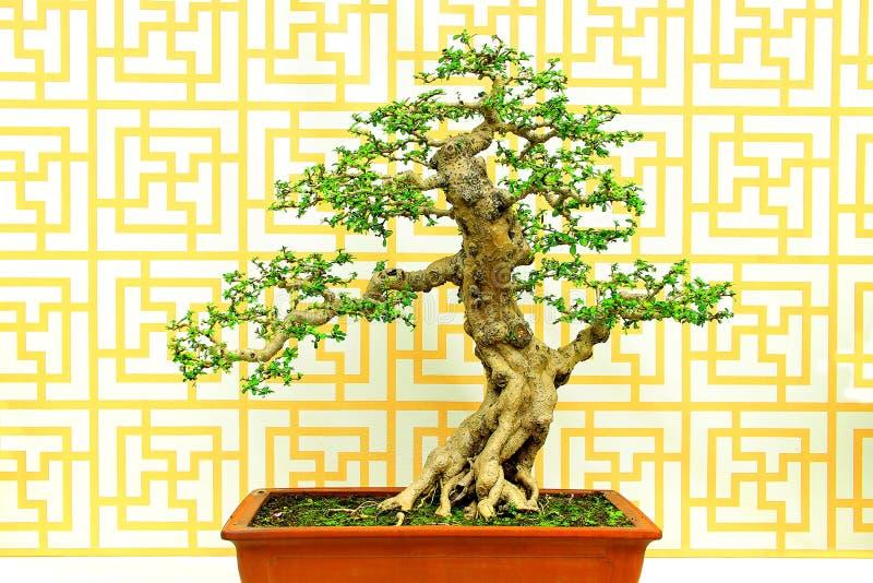 Fukien-Teecarmona-microphylla Bonsaianlage stockfotos