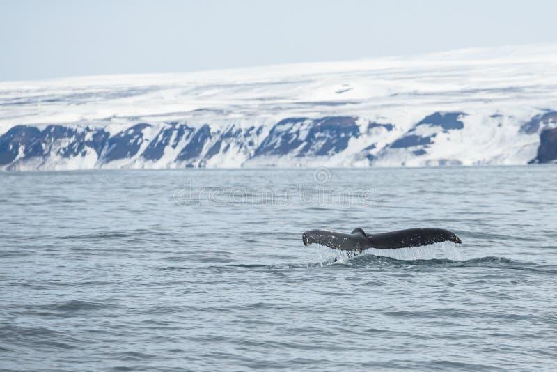 Fuks wielki humpback wieloryb gdy ono iść w nura zdjęcia stock