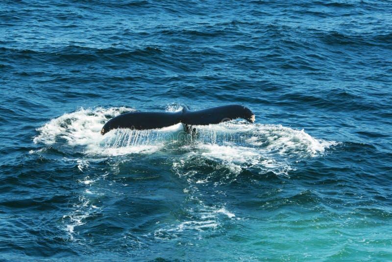 Fuks wielorybem zdjęcia stock