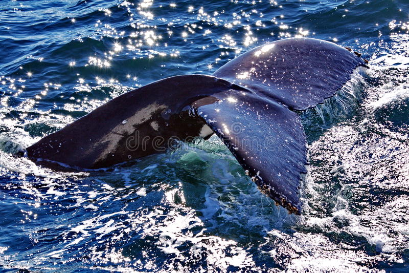 fuksa humpback wieloryb zdjęcia stock