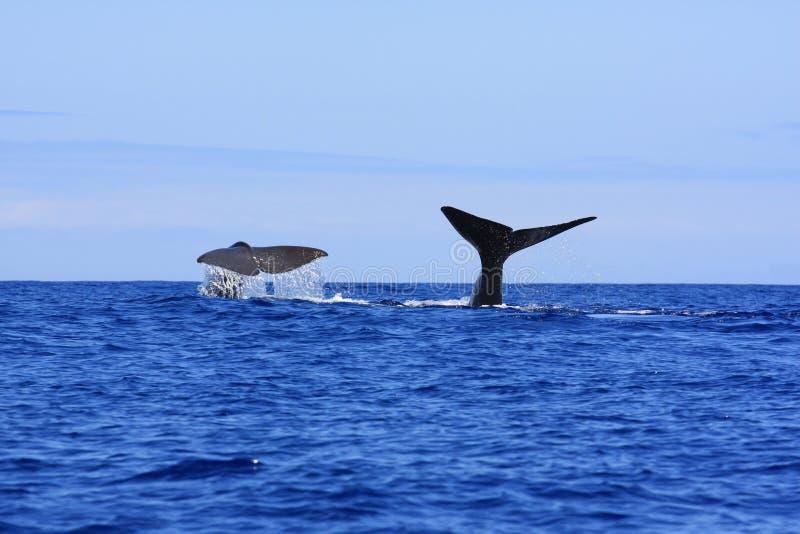 fuksa spermy wieloryb zdjęcie stock