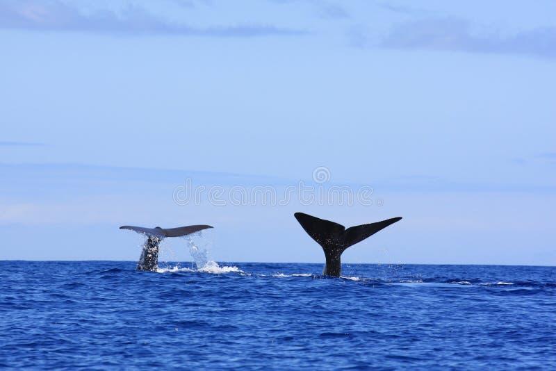 fuksa spermy wieloryb zdjęcie royalty free