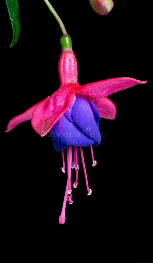 Fuksja kwiat Odizolowywający na Czarnym tle fotografia stock