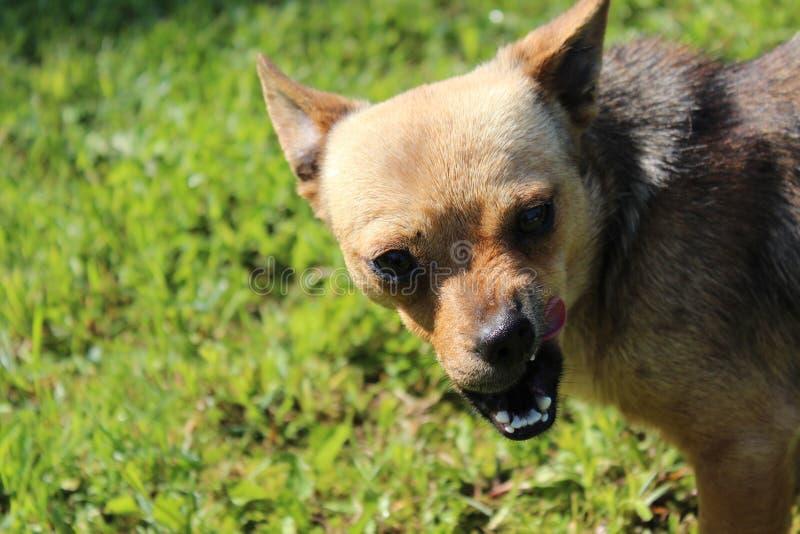 Ful liten hund - uppvisning av dess tänder arkivbilder