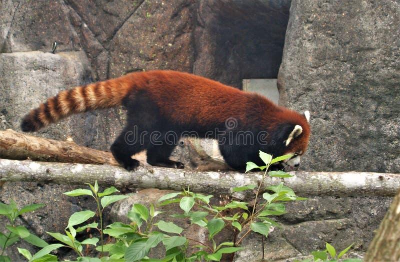 Fulgens d'Ailurus de panda rouge photos stock