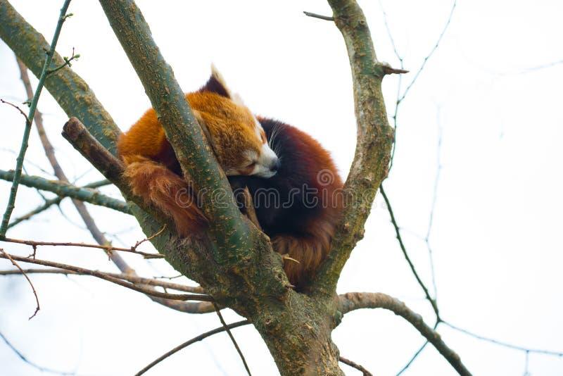 Fulgens d'Ailurus ou panda rouge dormant dans un arbre photos stock