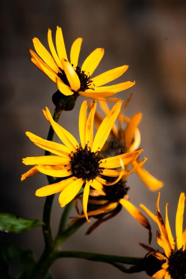 Fulgida de Rudbeckia, fleurs d'automne photographie stock libre de droits
