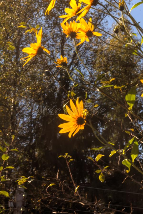 Fulgida do Rudbeckia Flor cultivada fotos de stock royalty free