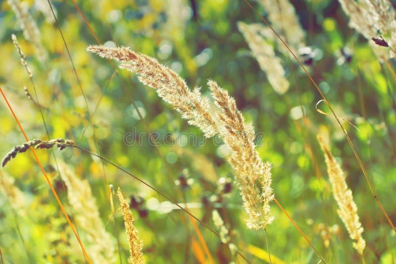 Fulgor da grama seca sob a textura bonita b do amarelo esverdeado do sol fotografia de stock royalty free