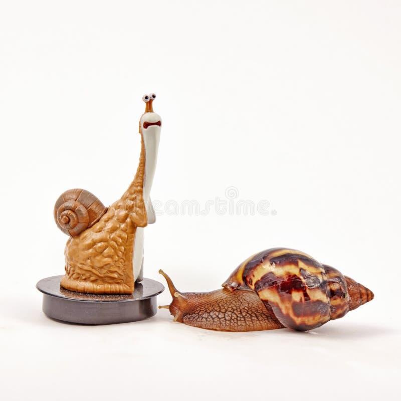 Fulica de Achatina del caracol en el fondo blanco imagen de archivo libre de regalías