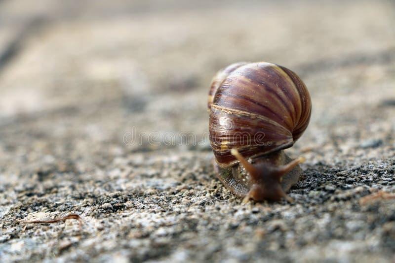 Fulica del caracol o de Achatina foto de archivo libre de regalías