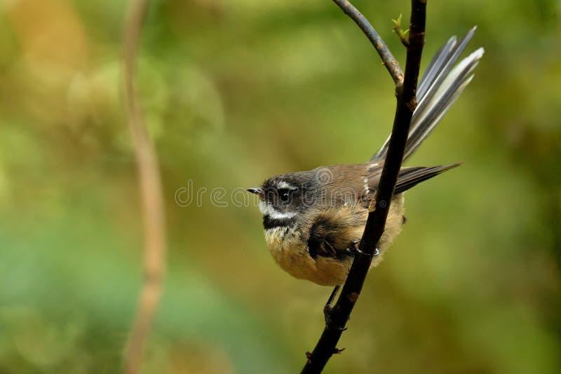 Fuliginosa di Rhipidura - girante laterale - piwakawaka nella lingua maori - sedendosi nella foresta della Nuova Zelanda fotografia stock