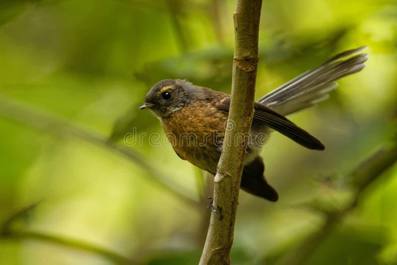 Fuliginosa di Rhipidura - girante laterale - piwakawaka nella lingua maori - sedendosi sul ramo nella foresta della Nuova Zelanda immagine stock