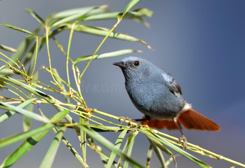 Fuliginosus de Rhyacornis photos stock