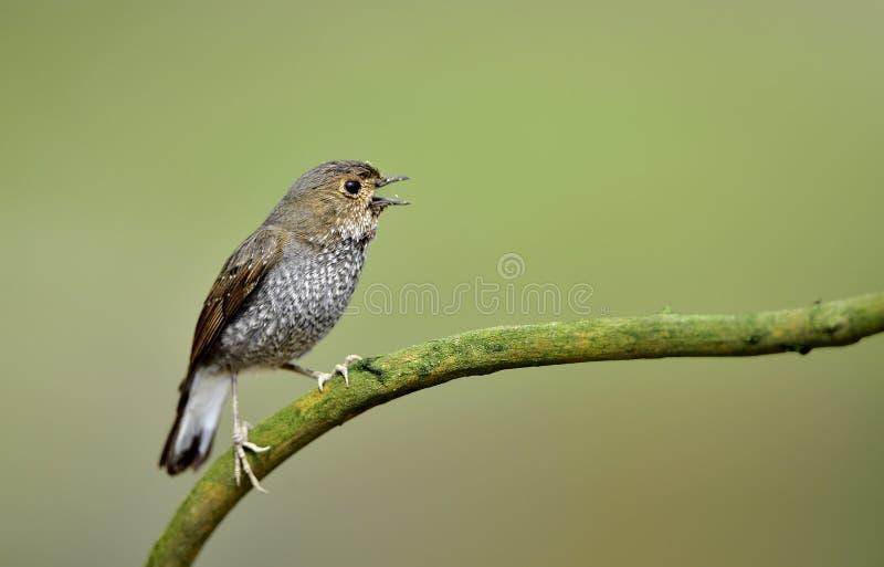 Fuliginosus de Rhyacornis photographie stock libre de droits