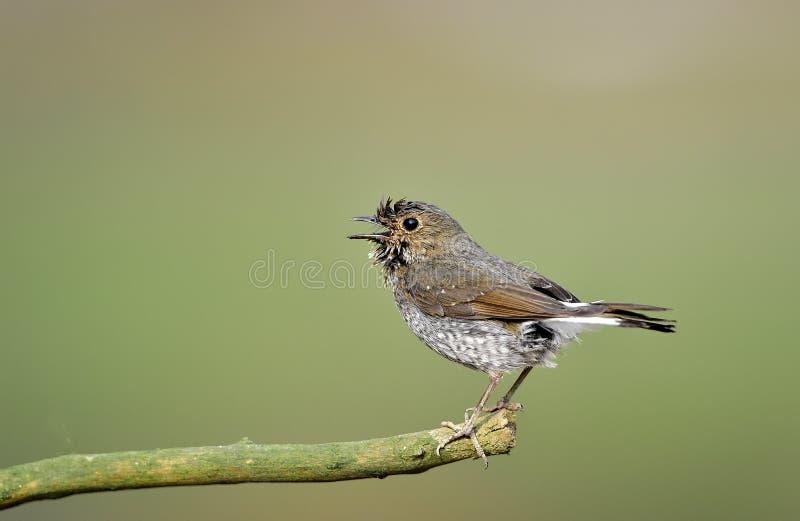 Fuliginosus de Rhyacornis photo libre de droits