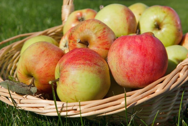 full äpplekorg royaltyfria bilder