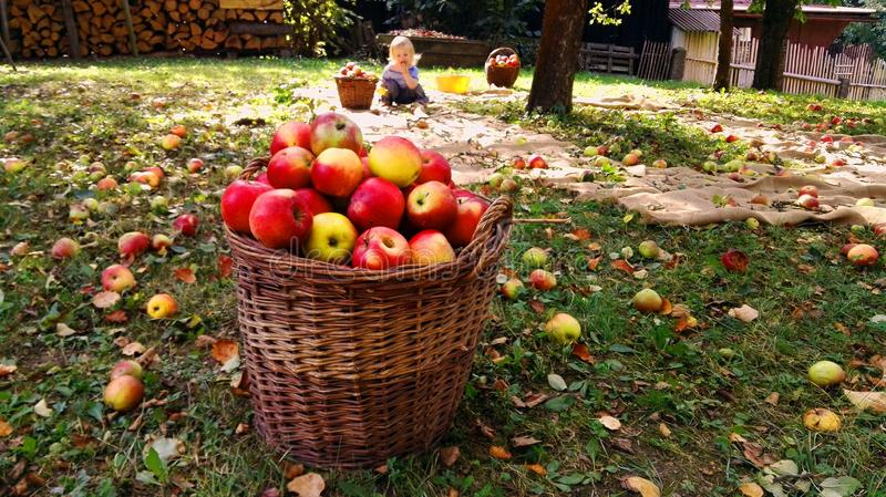 Full basket of apples in garden, in background a small boy eating one apple from ground. royalty free stock images