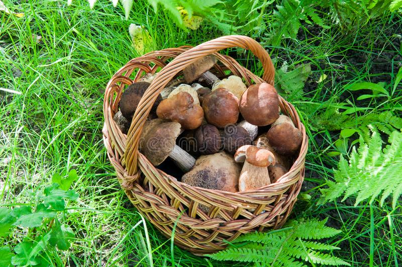 Full basket of edible mushrooms in the forest royalty free stock photography