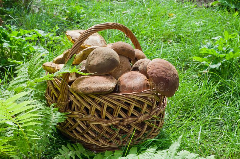 Full basket of edible mushrooms in the forest.  royalty free stock photos
