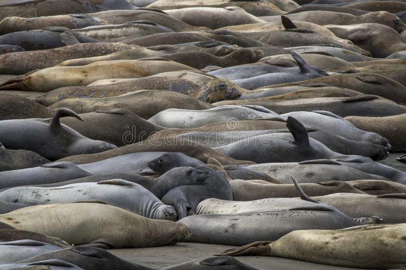 Full Beach of Elephant Seals Sleeping with Variety of Colors and Expressions stock photo
