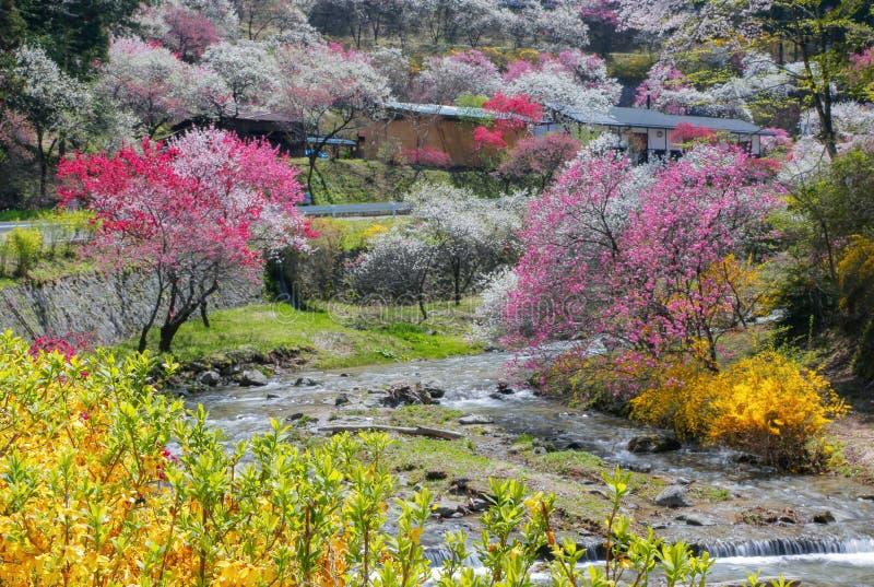 Full blom av fruktträdgården för persikaträd på våren royaltyfria bilder