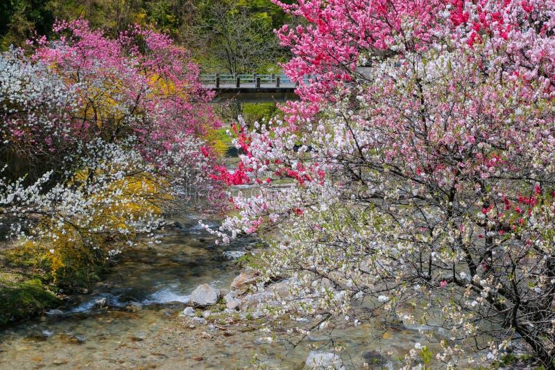 Full blom av persikaträdgården fotografering för bildbyråer