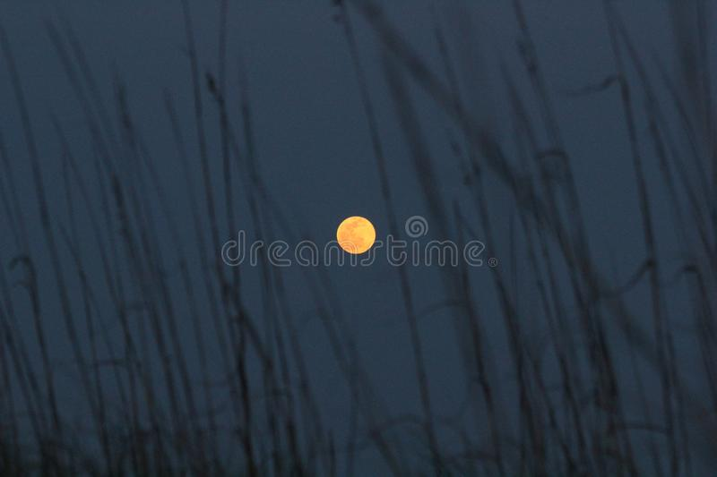 Full blood moon through sand dune grass at night. Dune grass is up close and out of focus royalty free stock images