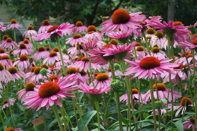 Download Full Bloom stock image. Image of summer, evening, home, flowers - 8897