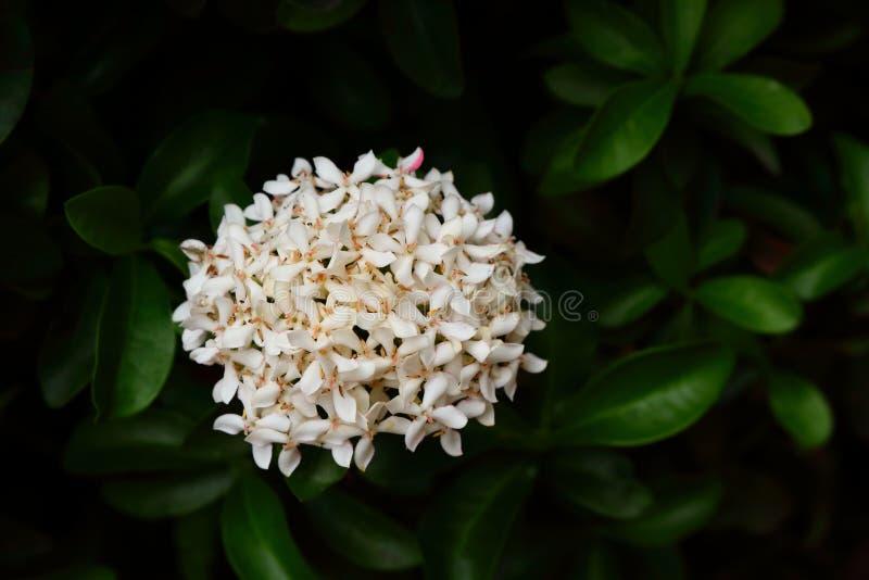 In full bloom. Closeup of white ixora or spike flower in full bloom stock image