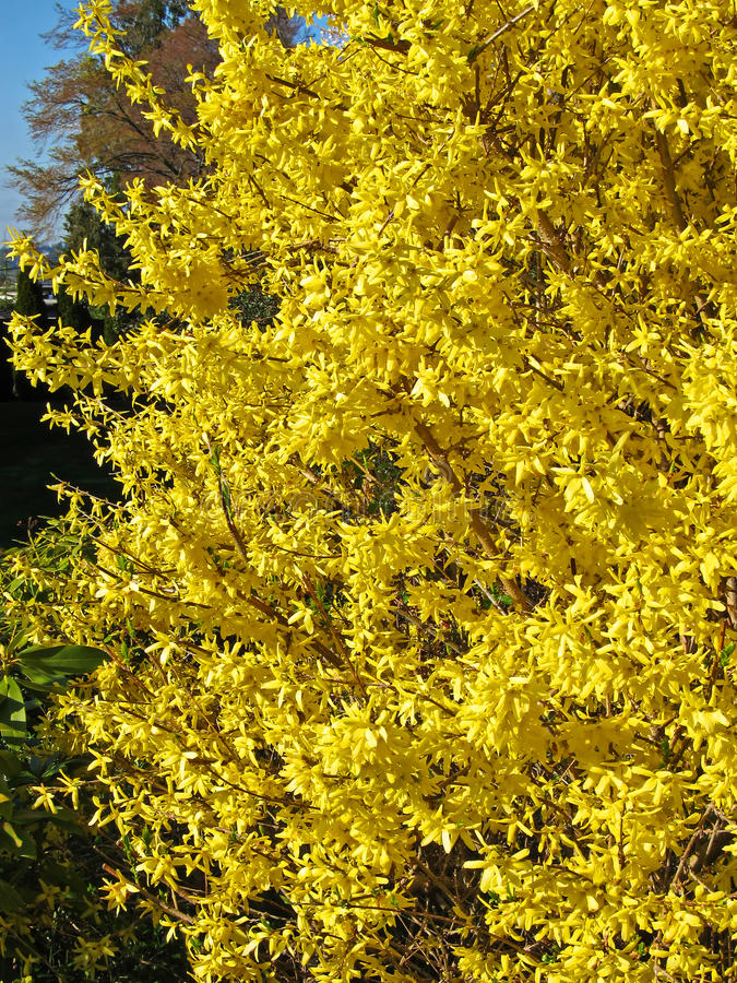 Yellow Flowering Bush Early Spring