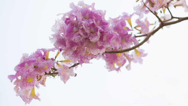 Full bloom pink Tabebuia. Tabebuia flower (Tabebuia rosea, Family Bignoniaceae, common name Pink trumpet tree, Rosy trumpet tree, Pink Poui, Pink Tecoma) or royalty free stock photo