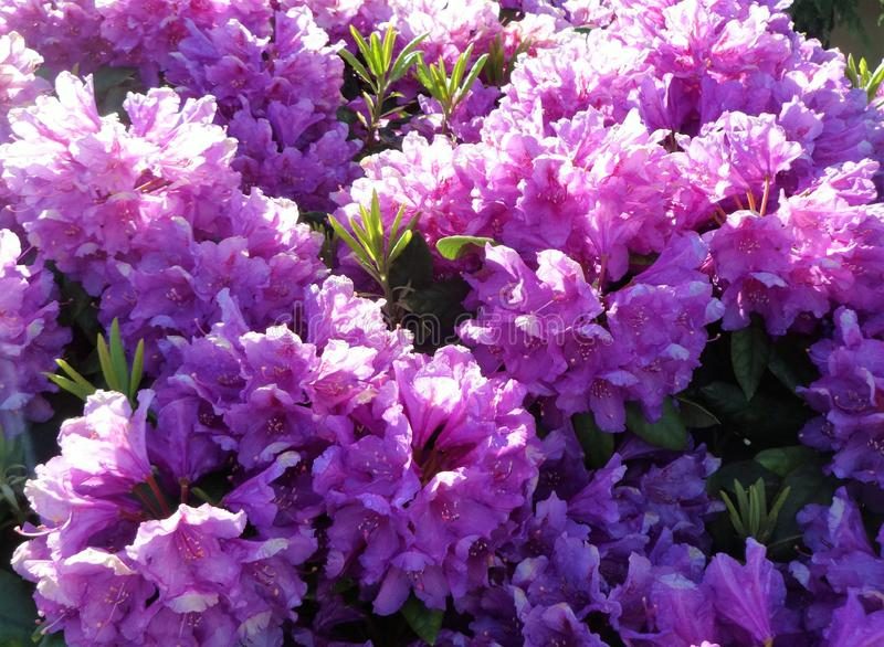 Full bloom purple rhododendron flowers royalty free stock photos