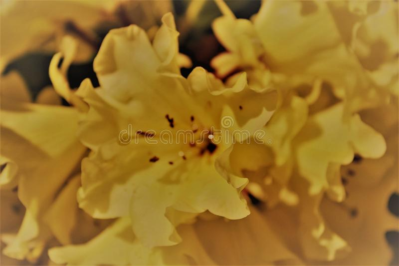 Full bloom soft yellow rhododendron flower - graphic image. Gorgeous frilled yellow rhododendron flower in full bloom in the spring sunshine - graphic image royalty free stock photography