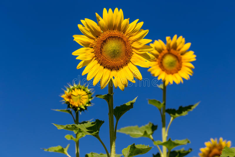 Full bloom sunflower with blue sky. stock images