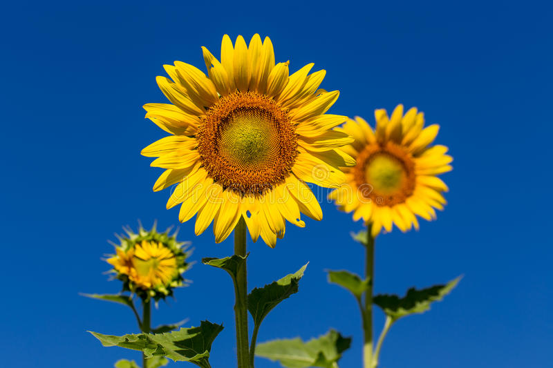 Full bloom sunflower with blue sky. royalty free stock images