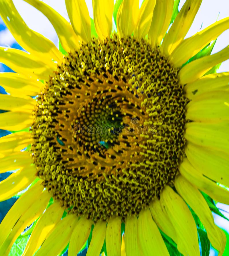 Full bloom sunflower with close up of complete disc florets. Full bloom sunflower with complete disc florets with a beautiful ray florets arrangement stock images
