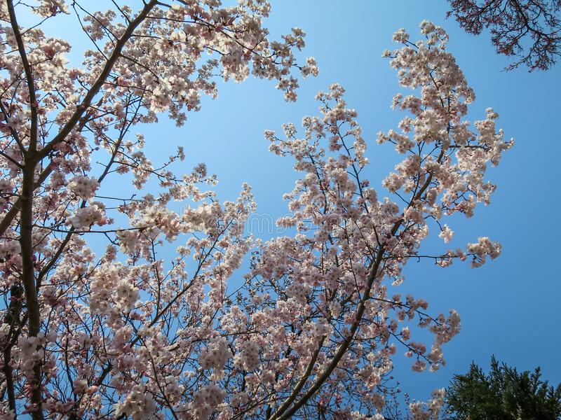 Full bloom sweet pink sakura branches and green tree with blue sky background on sunshine day royalty free stock images