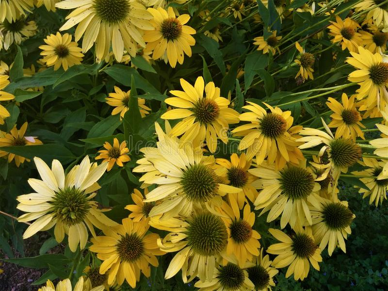A full bloom of yellow flowers in a garden stock images